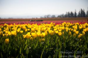 Tulips-3510.jpg