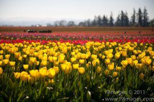 Tulips-3511.jpg