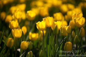 Tulips-3513.jpg