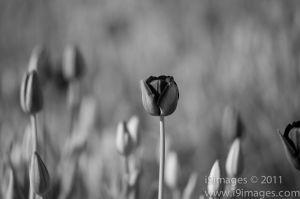 Tulips-3515-2.jpg