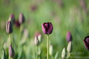 Tulips-3515.jpg