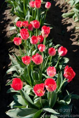 Tulips-3522.jpg