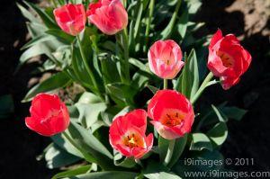 Tulips-3523.jpg