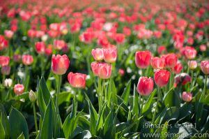 Tulips-3524.jpg