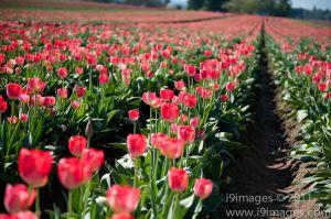Tulips-3525.jpg