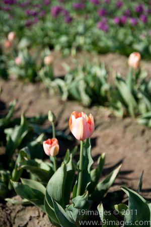 Tulips-3526.jpg
