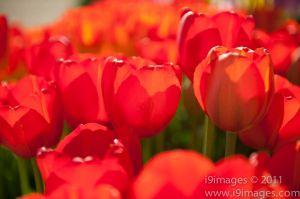 Tulips-3530.jpg
