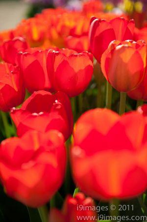 Tulips-3531.jpg