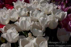 Tulips-3532.jpg