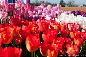 Tulips-3533.jpg
