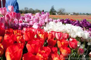 Tulips-3534.jpg