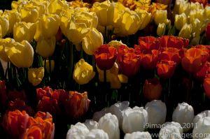Tulips-3542.jpg