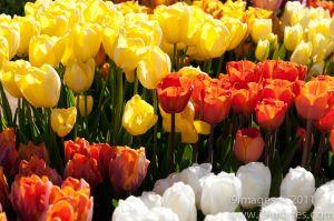 Tulips-3543.jpg