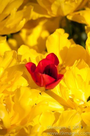 Tulips-3554.jpg