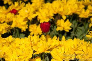Tulips-3556.jpg