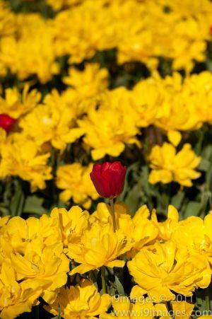 Tulips-3557.jpg