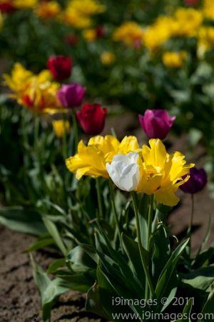 Tulips-3562.jpg