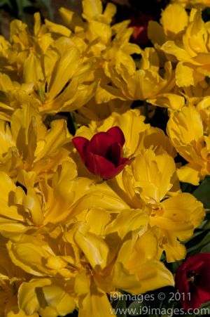 Tulips-3586.jpg