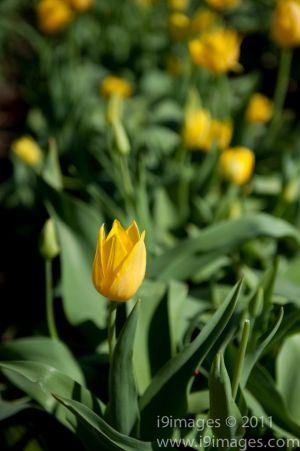 Tulips-3595.jpg