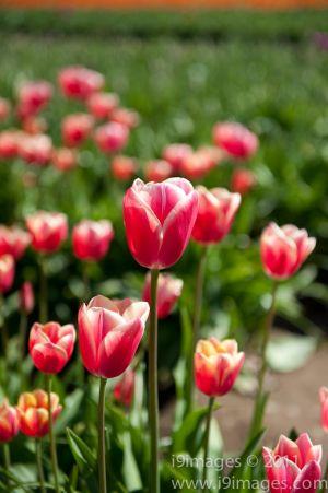 Tulips-3599.jpg